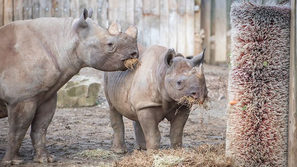 Cleveland Metroparks Zoo rhino herd gets new habitat that's double the size of their old home