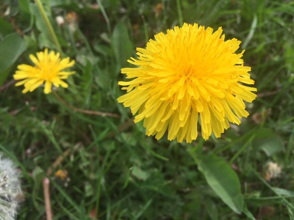 You may find more dandelions in areas where pesticides are not sprayed.