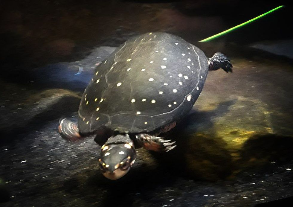 A spotted turtle calls the Greater Cleveland Aquarium home after being a pet.