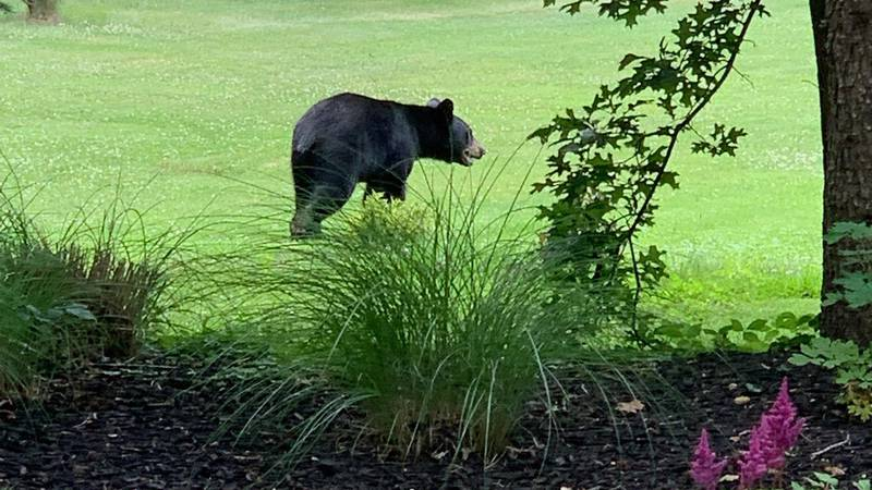 A black bear was also spotted in Hudson earlier this summer.