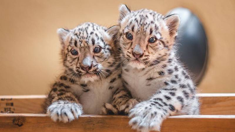 The Toledo Zoo announced its two new Snow leopard cubs were introduced to their outdoor habitat...