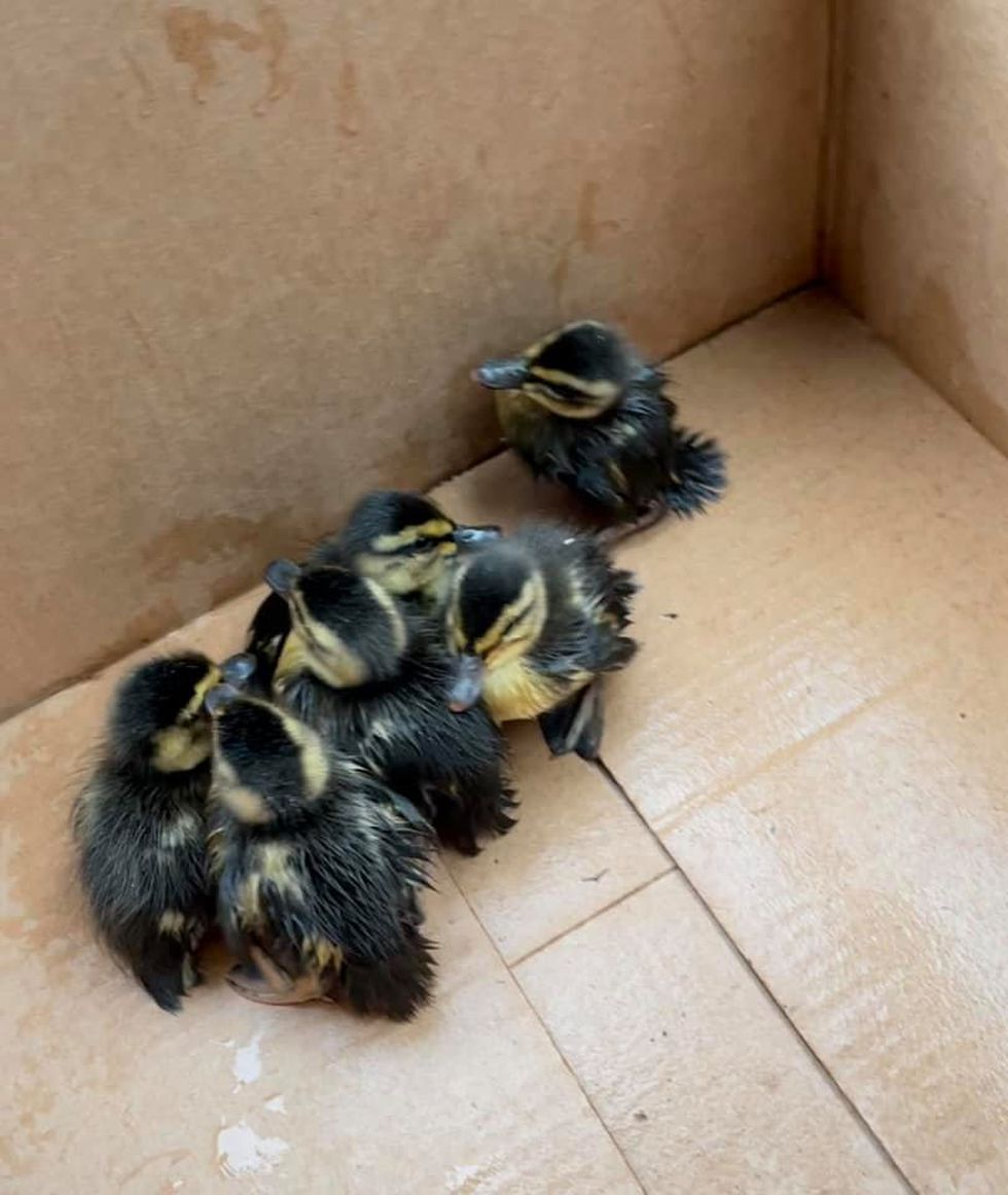 Olmsted Township ducklings rescued from storm drain