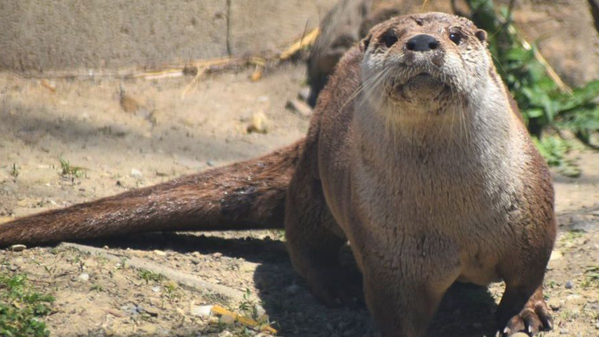 Have a virtually 'Otterly Amazing' Saturday with the Akron Zoo