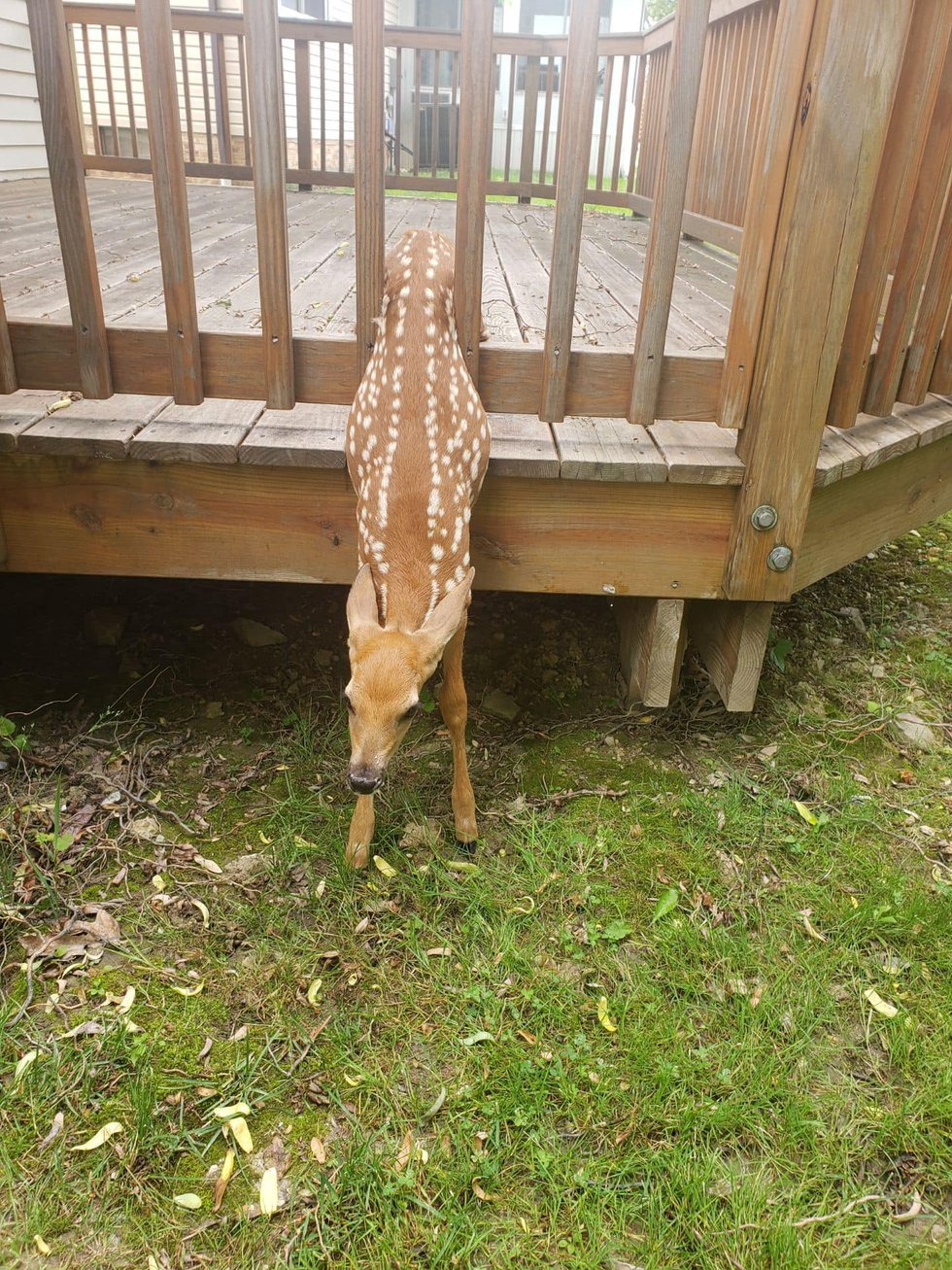 Richmond Heights officer rescues fawn stuck in fence