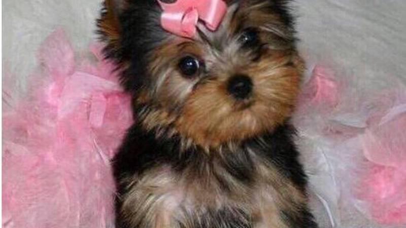 Puppy Scam
