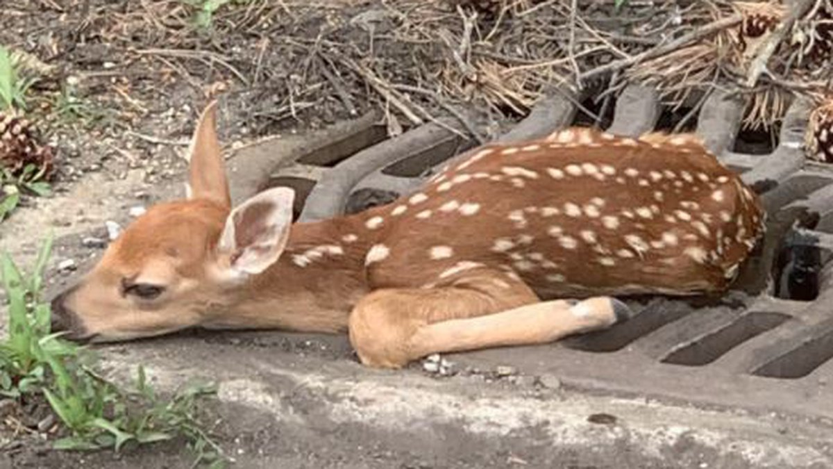 Fawn rescued from sewer grate in North Olmsted.