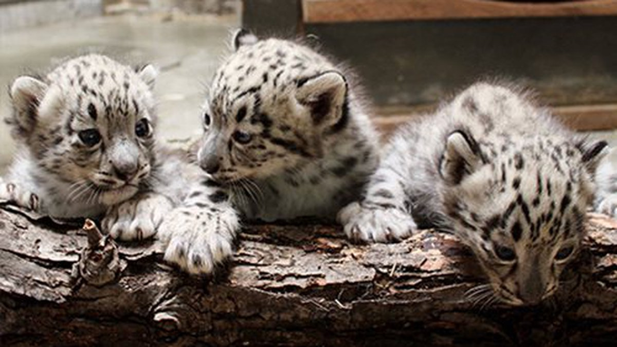 A trio of snow leopards were born April 22 to mother, Sombra. This trio was her second delivery.