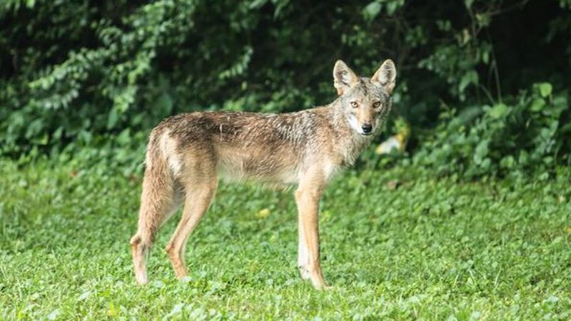 Coyotes are being reported in Huntsville, and experts warn you to keep your animals safe.