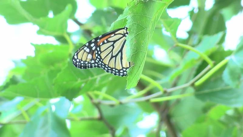 Monarch Butterflies stop at Wendy Park before heading to Mexico