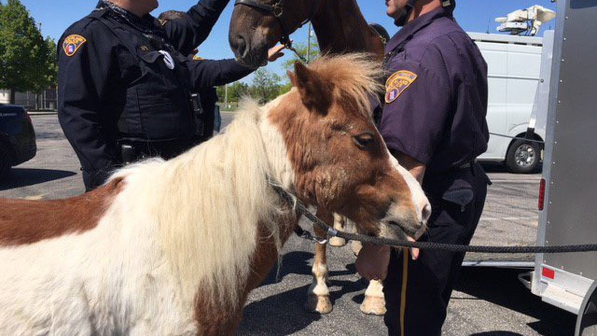 French Fry the pony went missing yesterday while giving rides to kids in Kerruish park.