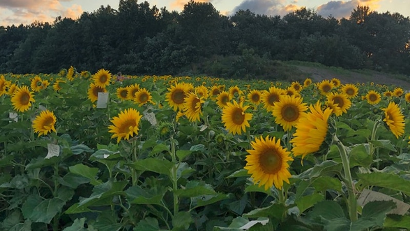 A file photo shows the Prayers From Maria sunflower field in Sandusky.