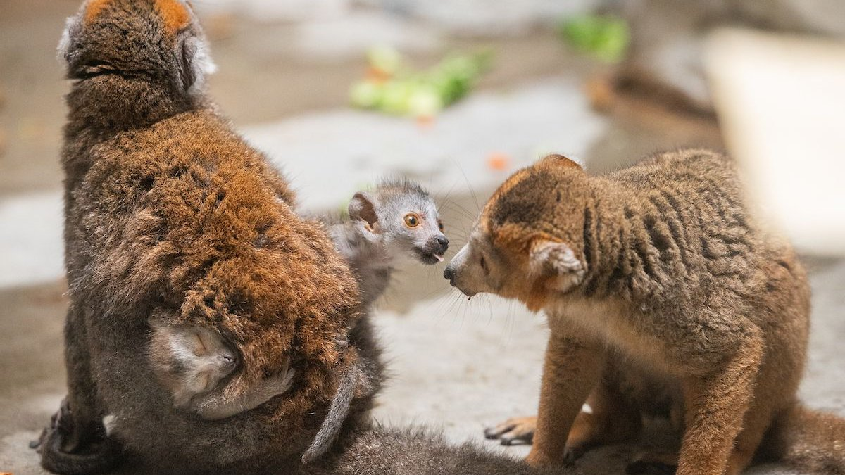 Two baby lemurs play at Cleveland Metroparks Zoo. They were born May 10.