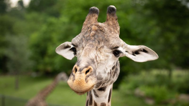 The Cleveland Metroparks Zoo euthanized Bo the giraffe yesterday evening