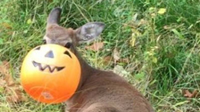 ODNR Division of Wildlife warns of plastic pumpkin fall decor and how it can harm wildlife.