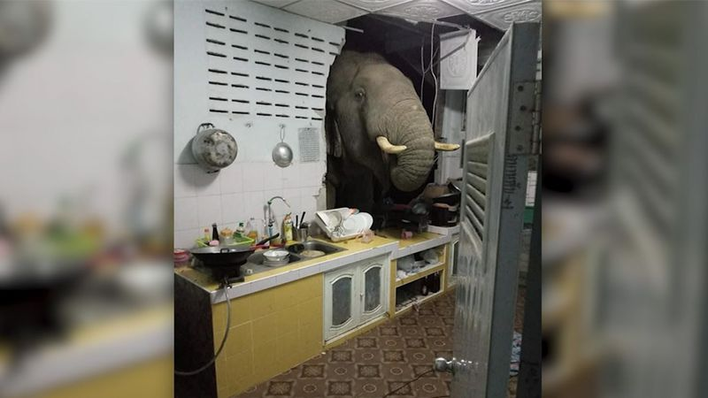 The elephant was rummaging through her kitchen with its trunk, probably looking for food.