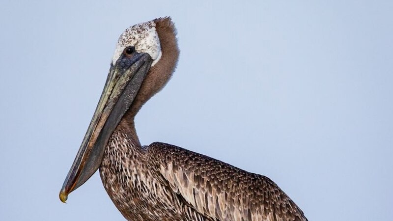 Photographed by Gabe Leidy from his kayak, the brown pelican is.a rare sight for local bird...